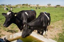 L'eau potable de creux au champ des vaches — Photo de stock