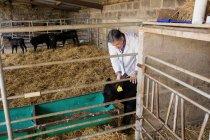 Ветеринар осматривает теленка за забором в сарае — стоковое фото