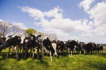 Kühe auf der Wiese gegen bewölktem Himmel — Stockfoto