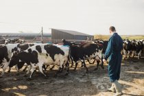 Comprimento total de agricultor em pé por vacas no campo — Fotografia de Stock