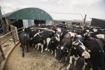 Коровы по ограде от сарая — стоковое фото
