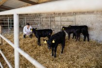 Vet crouching while examining black calves at shed — Stock Photo