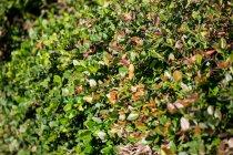 Gros plan du feuillage vert des plantes à la lumière du jour — Photo de stock