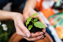 Imagen recortada del jardinero sosteniendo la planta con tierra en las manos en el centro del jardín - foto de stock