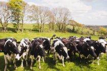 Vaches sur terrain gazonné sur ciel — Photo de stock