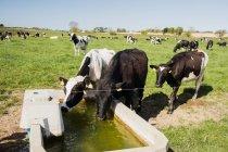 Коровы питьевой воды из корыта в травянистых местах — стоковое фото