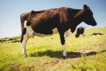 Pie de la vaca en el campo de hierba durante el día - foto de stock