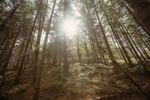 Low angle view of trees in woodland on sunny day — Stock Photo