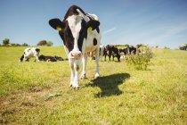 Mucca in piedi sul campo erboso e guardando nella fotocamera — Foto stock