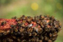 Close up de abelhas no quadro favo de mel — Fotografia de Stock