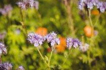 Gros plan de l'abeille domestique sur la fleur de lavande — Photo de stock