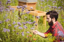 Imker begutachtet schöne Lavendelblüten im Feld — Stockfoto
