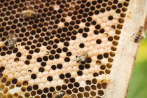 Close up of honey bee frame covered with bees — Stock Photo