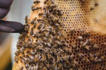 Cropped image of beekeeper holding honey frame — Stock Photo