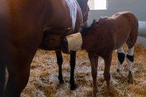 Кінь годування молоко, щоб лоша в лікарні тваринного — стокове фото