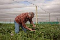 Vue latérale d'un agriculteur masculin caucasien âgé regardant des aubergines alors qu'il se tenait en serre à la ferme — Photo de stock