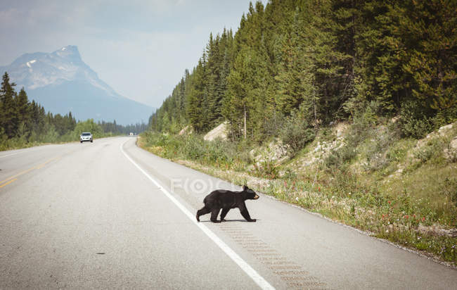 Young bear walking on a road at countryside, banff national park — Stock Photo