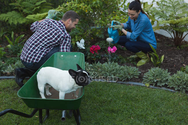 Young couple with french bulldog dog planting flowers in garden — Stock Photo