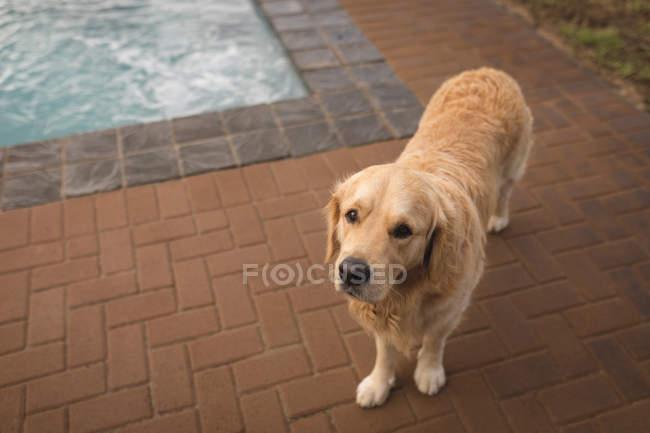 Hund steht neben Schwimmbad zu Hause — Stockfoto