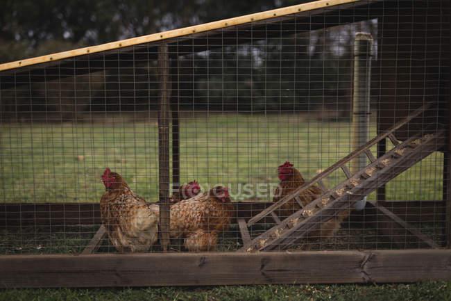 Hühnergruppe weidet im Gehege — Stockfoto