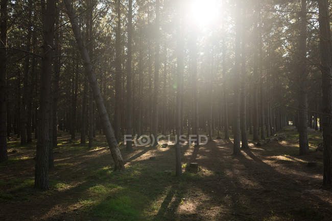 Sunlight spread in the forest at morning — Stock Photo