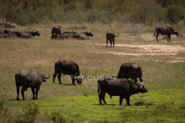 Wild buffaloes grazing in safari park on a sunny day — Stock Photo