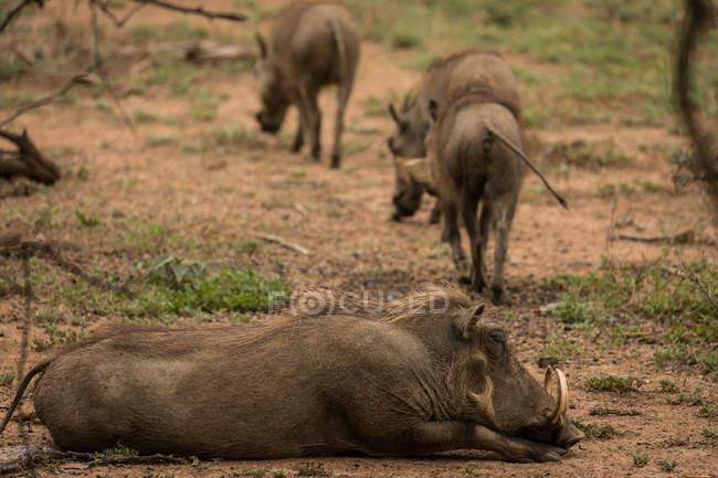 Javali relaxante no parque de safári em um dia ensolarado — Fotografia de Stock
