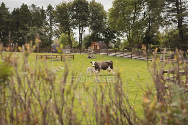 Bovini in campo in una giornata di sole — Foto stock