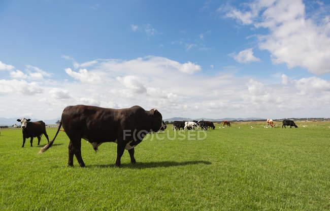 Pecuária pastando na fazenda em um dia ensolarado — Fotografia de Stock