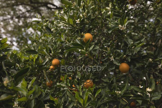 Помаранчевий дерево ферми на сонячний день — стокове фото