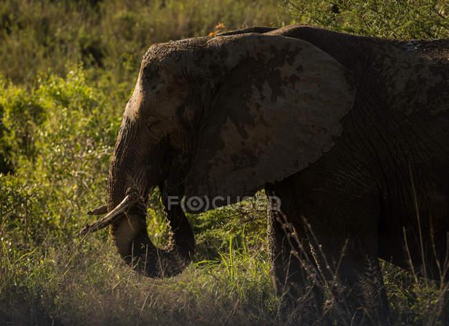 Elephant in safari grassland on a sunny day — Stock Photo
