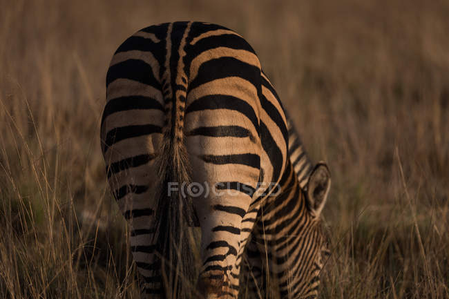 Zebra grazing on the Savannah at safari park — Stock Photo