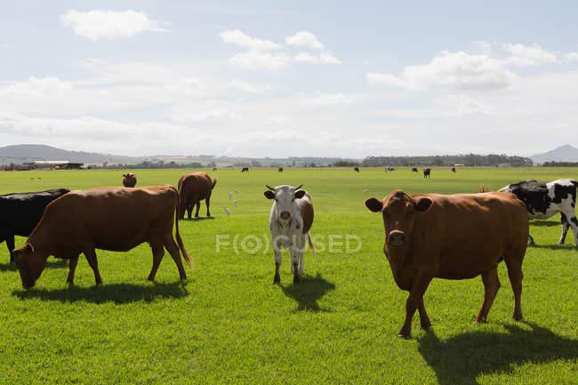 Rinder grasen auf der Farm an einem sonnigen Tag — Stockfoto