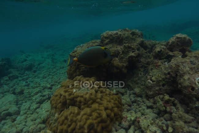 Poissons marins nageant par récif corallien sous-marin — Photo de stock
