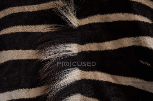 Primo piano della zebra nel safari park — Foto stock