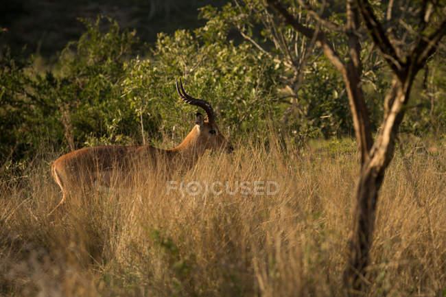Deer in safari grassland on a sunny day — Stock Photo