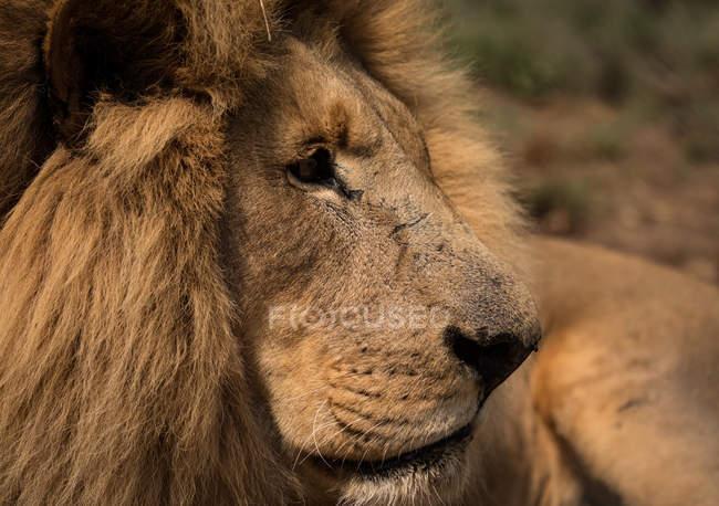 Close-up of lion at safari park — Stock Photo
