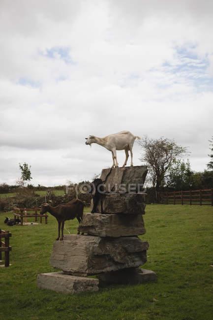 Chèvre sur le dessus de rock en ranch — Photo de stock