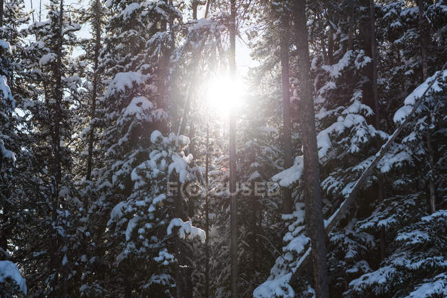 Beautiful sunset in wintry forest with backlit. - foto de stock
