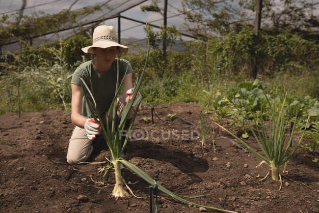 Landwirt Pflanze in Erde im Gewächshaus platzieren — Stockfoto