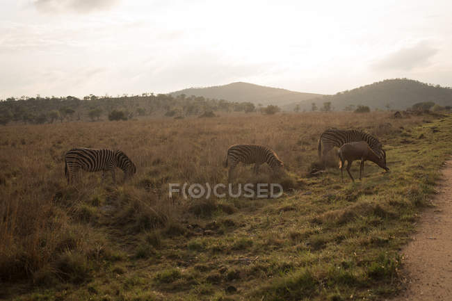 Zebras grazing on the savannah at safari park — Stock Photo