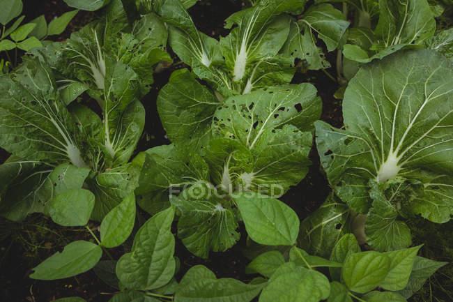 Vista de ángulo alto de verduras frescas en jardín - foto de stock