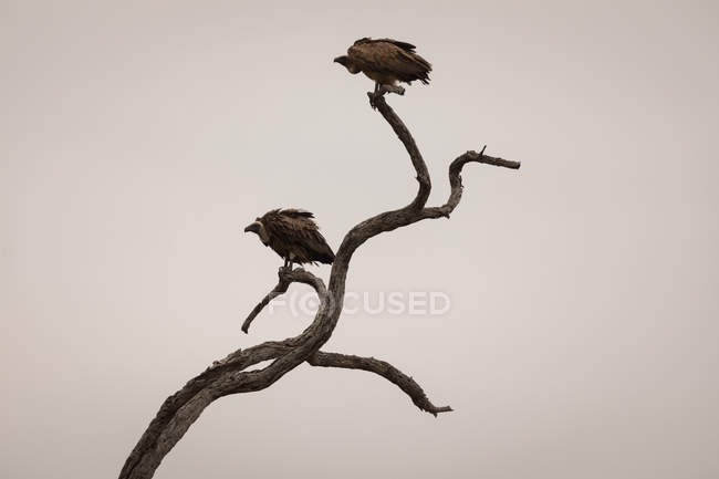 Vultures perching on tree against sky — Stock Photo