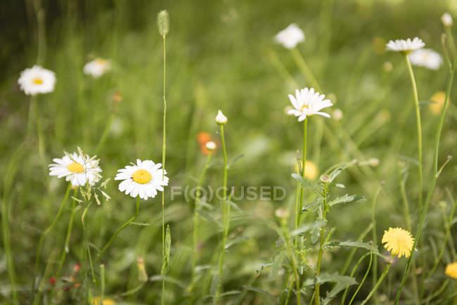 Крупным планом белых цветов в зеленый газон в солнечном свете — стоковое фото
