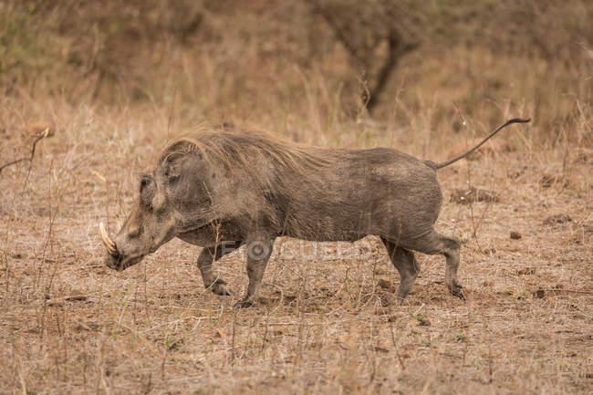 Wild boar running in safari park on a sunny day — Stock Photo