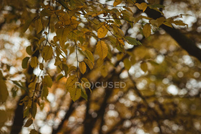 Leaves in a branch of tree during at sunset — Stock Photo