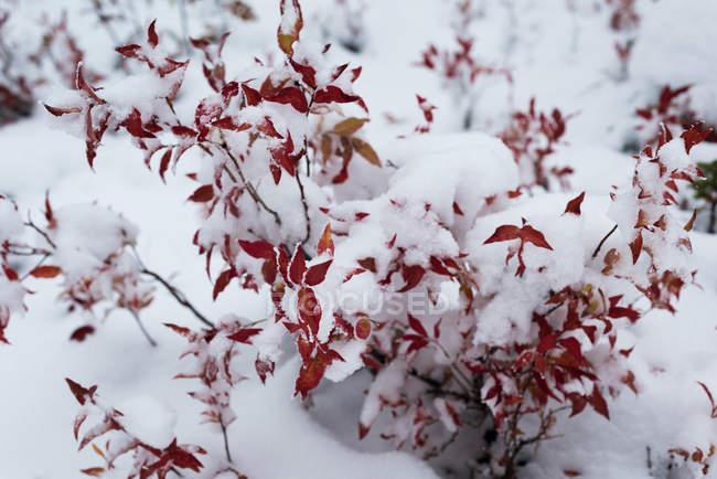 Vista do close-up da flora coberto de neve — Fotografia de Stock