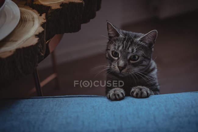 Крупный план любопытной кошки, опирающейся на диван — стоковое фото