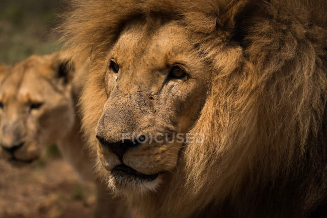Close-up of lion and lioness gazing at safari park on a sunny day — Stock Photo
