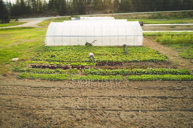 Bauer pflückt an einem sonnigen Tag frische Pflanzen, die auf einem Bauernhof angebaut werden — Stockfoto